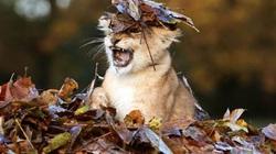 Chùm ảnh sư tử con siêu ngộ, đẹp tựa thiên thần