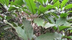 Canh lá đắng, đặc sản xứ Mường