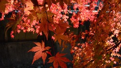Đẹp mê hồn rừng lá phong ở Nhật qua ống kính du học sinh Việt