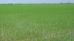 Thái Bình: Triển khai 63 mô hình cánh đồng mẫu
