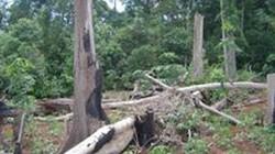 Đăk Nông: Xóa sổ gần 2.000ha rừng