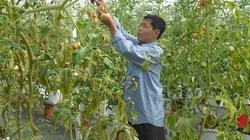 Sử dụng phân bón đa yếu tố  NPK Văn Điển cho cây cà chua