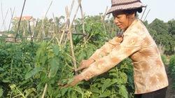 Tận dụng phù sa trồng rau sạch