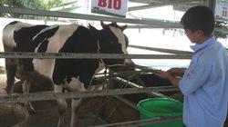 """Người nuôi bò sữa đang """"sống khỏe"""""""