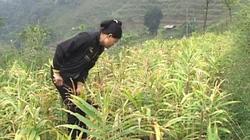 Người Dao đổi đời nhờ trồng gừng