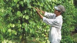 Phân hữu cơ sinh học Vina xanh giúp phục hồi vườn tiêu