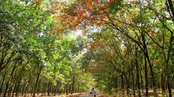 Tây Nguyên mùa cao su đổ lá