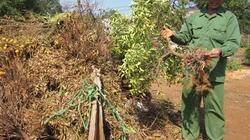 Quất rụng trái, nông dân thiệt hại nặng