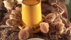 VIC tổ chức hội thảo về chăn nuôi gia cầm