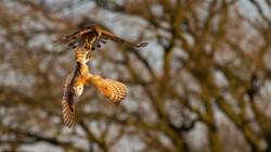 Chim cắt dám cướp mồi từ cú mèo khủng