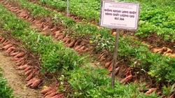 Bón phân đa yếu tố NPK  Văn Điển cho cây khoai lang