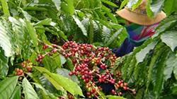 Lập ban chỉ đạo tái canh cà phê
