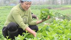 Lợi ích kép  từ trồng rau hữu cơ