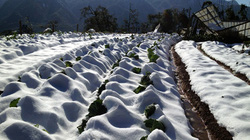 Nông dân Sapa: Sau mưa tuyết, nắng lên mới là lúc khóc