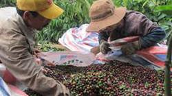 Sản lượng cà phê giảm từ 8-10%