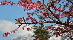 Nắng rực rỡ, hoa anh đào bung nở thắm đỏ giữa tuyết trắng Sa Pa