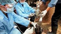 Cảnh báo dịch cúm gia cầm bùng phát