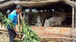 An Giang: Hỗ trợ nông dân nuôi bò hợp vệ sinh