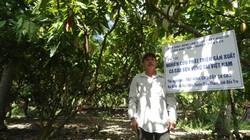 Trồng ca cao xen dừa: Ăn chắc mặc bền
