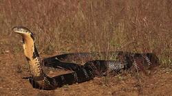 Khám phá lãnh địa của bầy hổ mang chúa khổng lồ