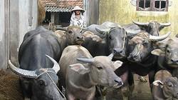 Bình Định: Dạy nghề nuôi trâu, bò