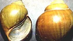 """Kiếm """"ngon"""" 150.000 - 200.000 đồng/ngày nhờ bắt ốc bươu vàng"""