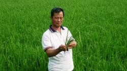 Dinh dưỡng cho lúa thu đông giai đoạn trổ bông
