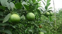 Kỹ thuật chăm sóc để chanh đào rộ trái vào tháng 9-10