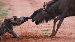 Chó hoang dụng chiêu độc, cắn mũi làm thịt linh dương