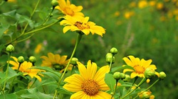 Tây Nguyên tháng 10 miên man mùa hoa Dã Quỳ vàng