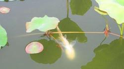 """KỲ LẠ: Sen nở rộ cuối thu, cá """"thần linh"""" luôn bơi ngửa ở giếng làng Tiên Hồ"""
