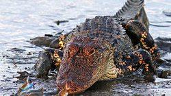HY HỮU: Chú cua gan dạ dùng càng hạ gục.... cá sấu