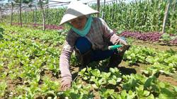 Làng rau VietGAP ngậm ngùi... trồng rau thường bán chợ