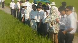 Cấy lúa mùa không làm đất: Nâng cao năng suất, giảm công cày bừa