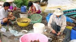 Chưa ai biết Trung Quốc mua ốc bươu vàng miền Tây làm gì