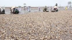 Ngao chết hàng loạt ở Thái Bình: Không loại trừ nguyên nhân ô nhiễm từ một số công ty Trung Quốc