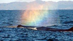 Lý giải chuyện cá voi phun lửa, tạo cầu vồng đẹp dị thường