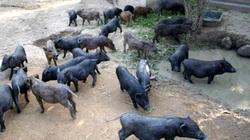 Nuôi lợn đen lãi gấp 5 lần lợn thường