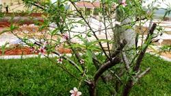 Hiện tượng lạ ở Hà Tĩnh: Cây đào nở hoa giữa mùa thu ở khu tưởng niệm Lý Tự Trọng