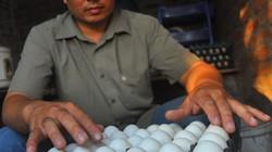 Mục sở thị trang trại gà Ai Cập cho thu nhập tiền tỷ giữa thủ đô