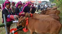 Quảng Ninh: 226 hộ nghèo biên giới được tặng bò giống