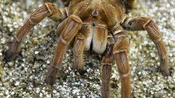 Cận cảnh nhện siêu khủng, to bằng con chó mới được phát hiện