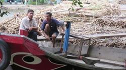Cà Mau: Khó tiêu thụ, nông dân quay lưng với cây mía
