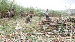 Bón phân Văn Điển  cho cây mía ở Thanh Hóa