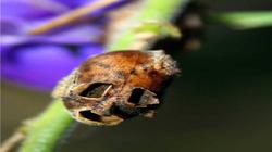 """Kỳ bí loài hoa hình đầu lâu """"khắc tinh"""" của tà ma"""