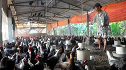Kỹ thuật chăn nuôi gà hậu bị
