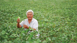 Chia sẻ kinh nghiệm trồng cây đậu tương hiệu quả với phân bón Văn Điển
