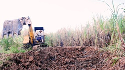 Cà Mau: Không có nơi bán, nhà nông đốt bỏ mía