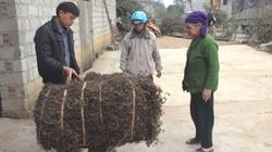 1001 cách làm ăn: Cây thạch đen dễ trồng, hiệu quả kinh tế cao