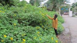Vườn quốc gia Ba Vì: Rực rỡ mùa hoa Dã Quỳ vàng